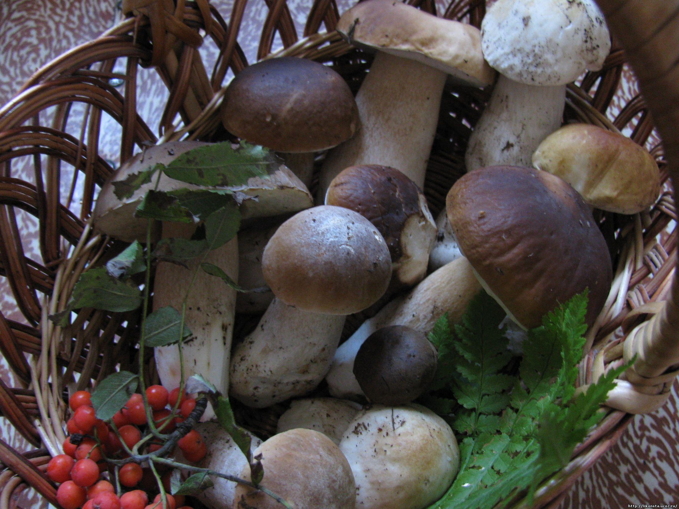 <alt>Белый гриб, боровик Boletus edulis</alt>