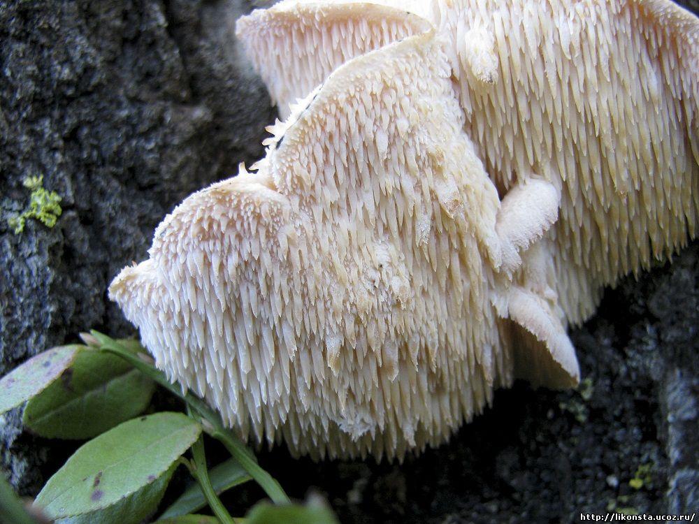Креолофус усиковый Creolophus cirrhatus; Ежовик усиковый.