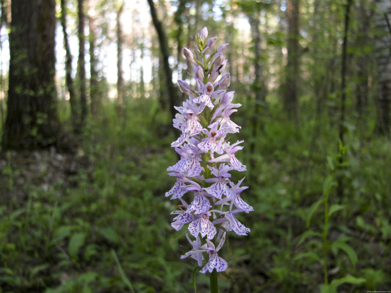 Как пересаживать орхидею в домашних условиях дендробиум