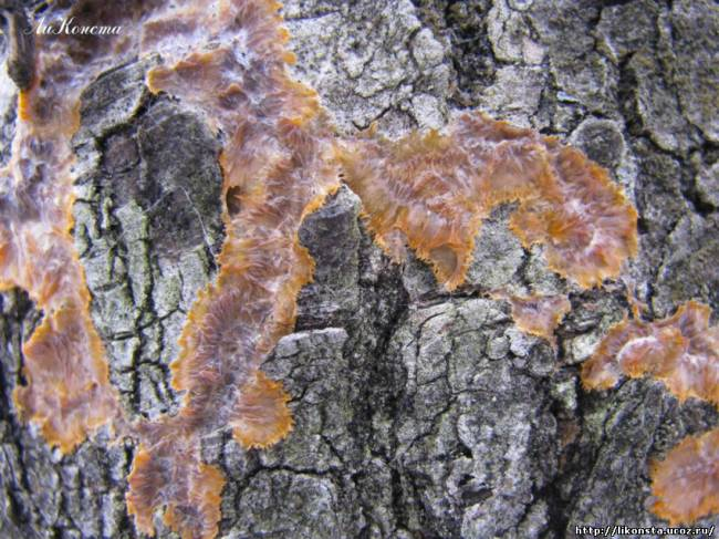 Флебия радиальная Phlebia radiata