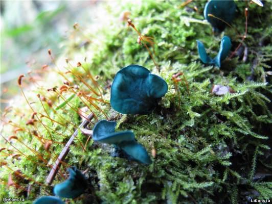 <alt>Фото Сергеева Л. Хлороцибория сине-зеленая (Chlorociboria aeruginosa), семейство Гелоциевые (Helociaceae)</alt>