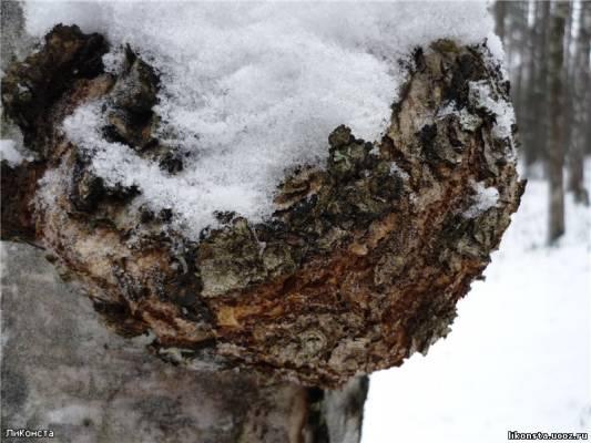 Кап берёзовый - Деревья и наросты на